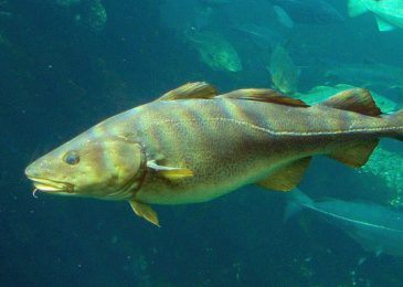 The way of the cod? Auditor General finds DFO not properly managing and monitoring fish stocks