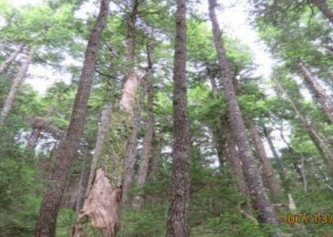 News brief: Province identifies old growth forest for clearcut harvesting