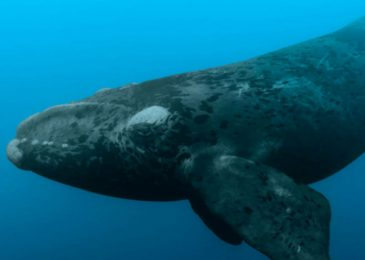 Media release: Emergency actions needed to protect remaining North Atlantic Right Whales