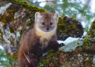 """Our voices really can make a difference"" – Cape Breton's threatened marten population gets a break"