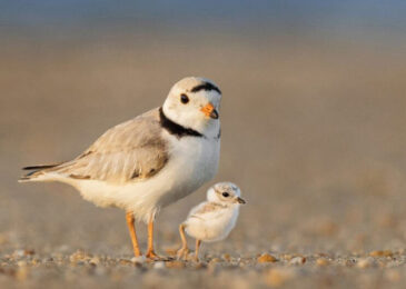 Open letter: Proposed Owls Head golf course puts Piping Plovers and Barn Swallows at risk