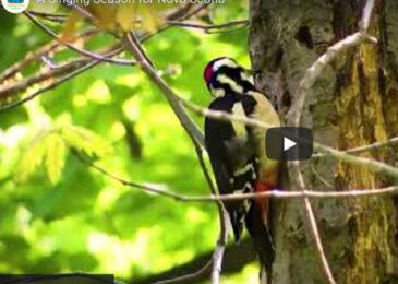 Video: A singing season for Nova Scotia