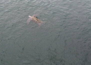 Rare sighting of endangered leatherback sea turtle bolsters case for Owls Head protection